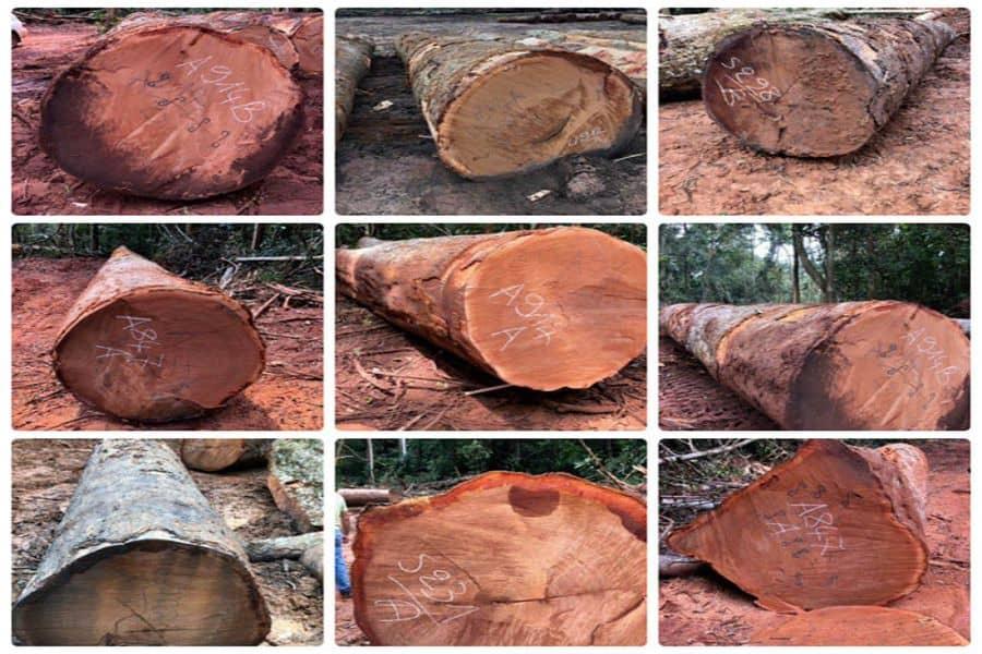 cây gỗ xoan đào nam phi