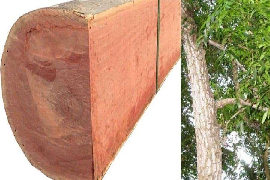 gỗ xoan đào nam phi