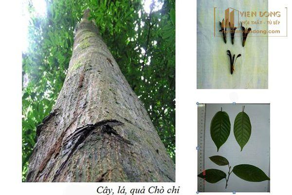 cây chò chỉ trong tự nhiên